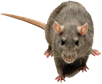 Rat Poison | Rat Traps | Rat Repellent | Rat Repeller